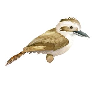 kookaburra-300